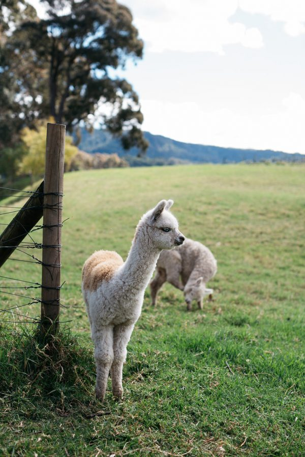 alpacas in the country on wedding day